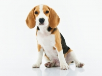 adorable-animal-beagle-1345191