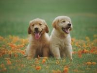 lab-puppies